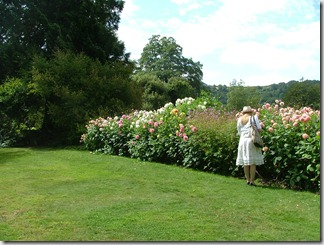 Garden at Greenway - these dahlias haven't been lifted since Agatha Christie planted them herself