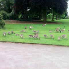 Canada Geese at Kew